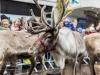 bradford+reindeer+parade_6228