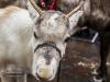 bradford+reindeer+parade_6275