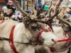 bradford+reindeer+parade_9055