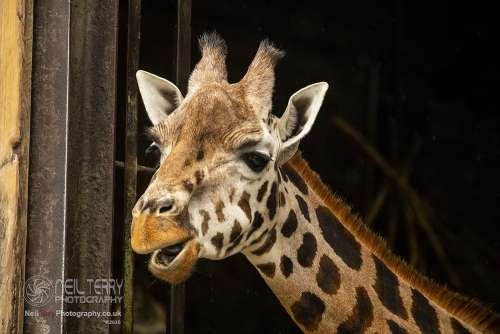 Chester_zoo_6013