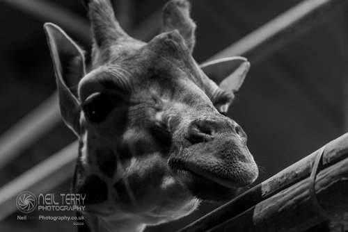 Chester_zoo_6015
