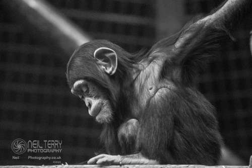 Chester_zoo_6059