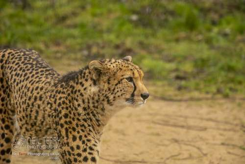 Chester_zoo_6165