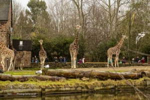 Chester_zoo_5941