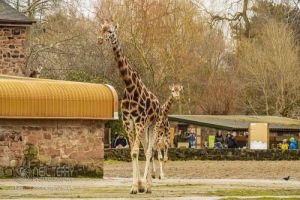 Chester_zoo_5954